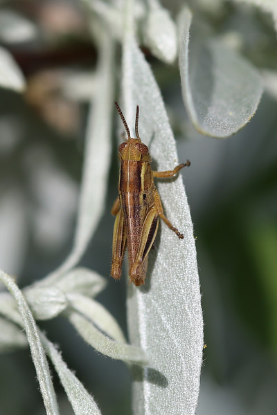 Short Horned Grasshopper Nymph (Acrididae)