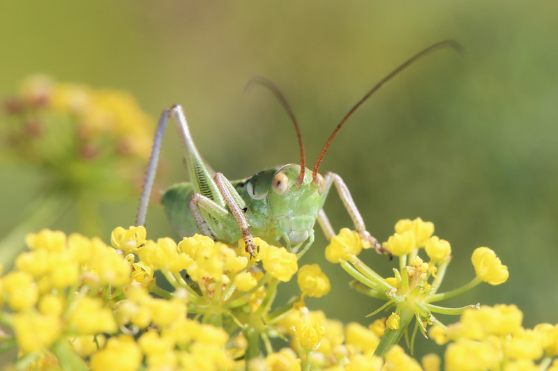 Katydid Nymph (Tettigoniidae)