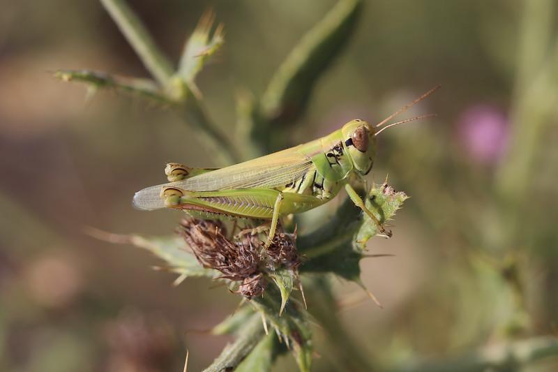Short-Horned Grasshopper (Acrididae)
