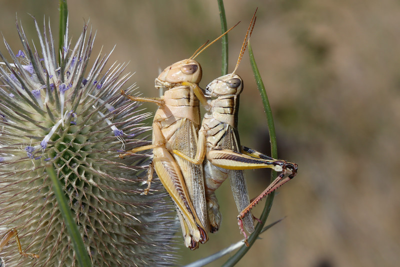 Short Horned Grasshoppers Mating (Acrididae)