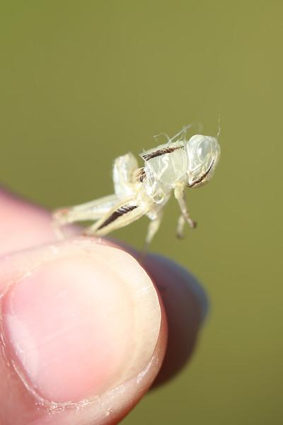 Grasshopper Exuviae (Acrididae)