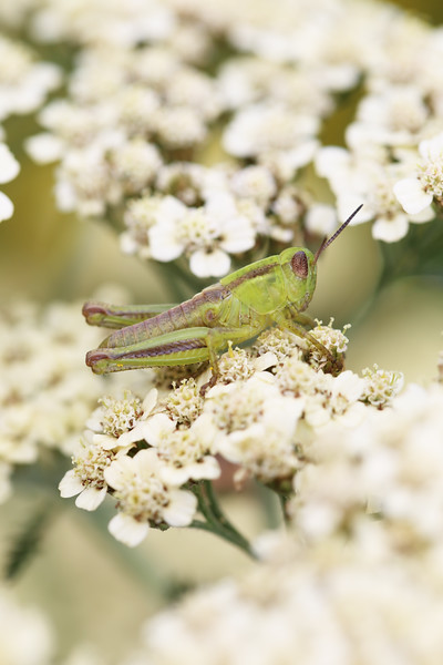 Short-horned Grasshopper Nymph (Acrididae)