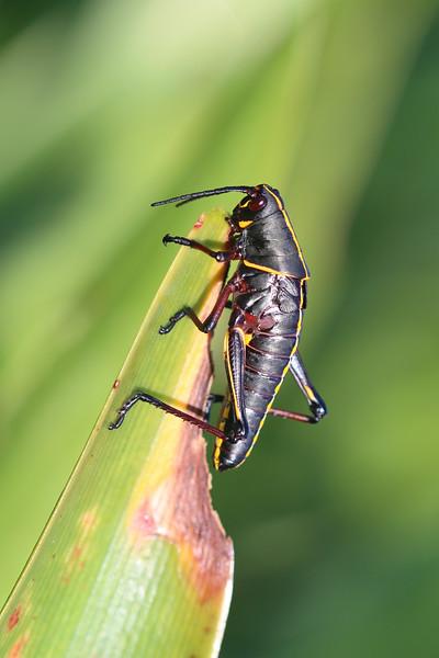 Eastern Lubber Grasshopper Immature (Romalea microptera)