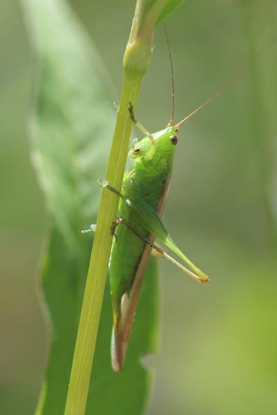 Meadow Katydid (Conocephalini)