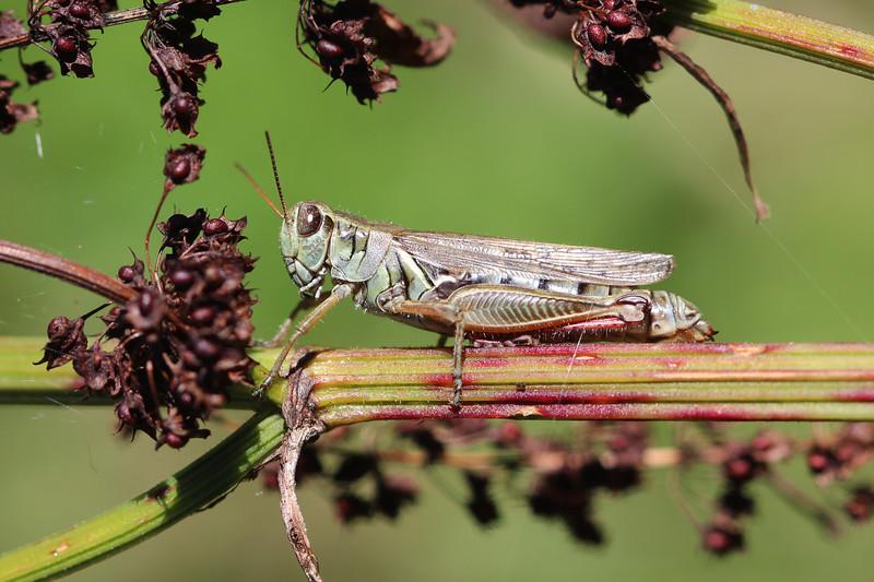 Short Horned Grasshopper (Acrididae)