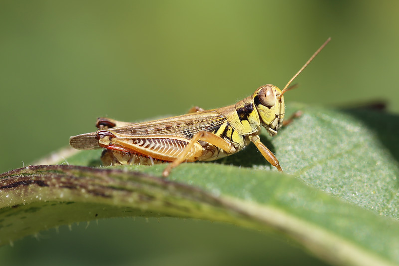 Short-horned Grasshopper (Acrididae)
