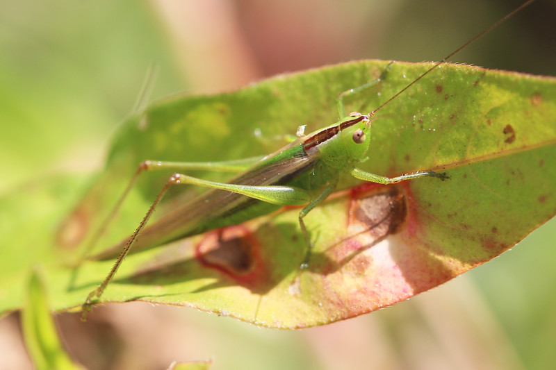 Meadow Katydid (Conocephalini)