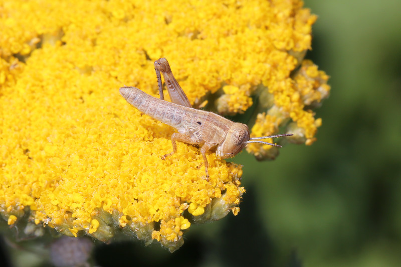 Unidentified Nymph Grasshopper (Orthoptera)