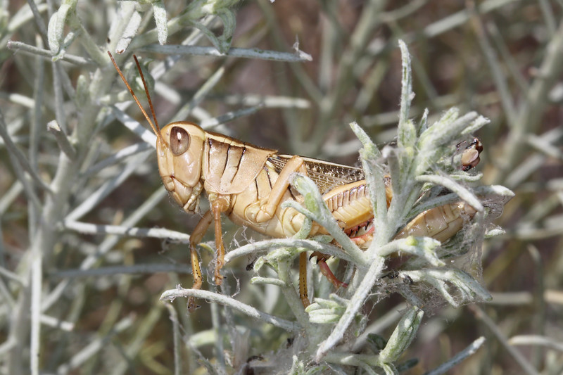 Short Horned Grasshopper (Acrididae)