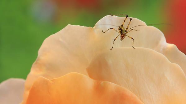 Tiny Grasshopper (3) by Bruno Suignard