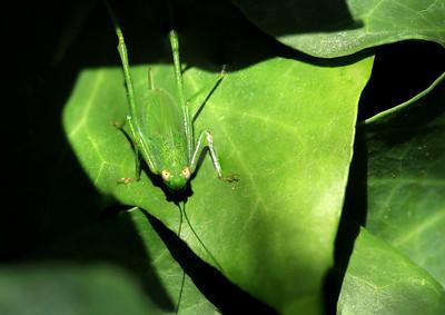Grasshopper(3)  by Bruno SUIGNARD