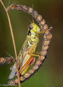 ORTHOPTERA: Acrididae: Melanoplus differentialis, differential grasshopper