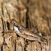 ORTHOPTERA: Acrididae: Melanoplus sp., shorthorned grasshopper