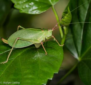 ORTHOPTERA: Ensifera: Tettigoniidae: Pterophylla camellifolia, common true katydid