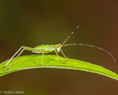ORTHOPTERA: Tettigoniidae: Scudder's Bush Katydid nymph