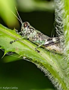 ORTHOPTERA: Acrididae: shorthorned grasshopper