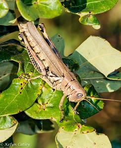 ORTHOPTERA: Acrididae: Melanoplinae : Melanoplus differentials, differential grasshopper