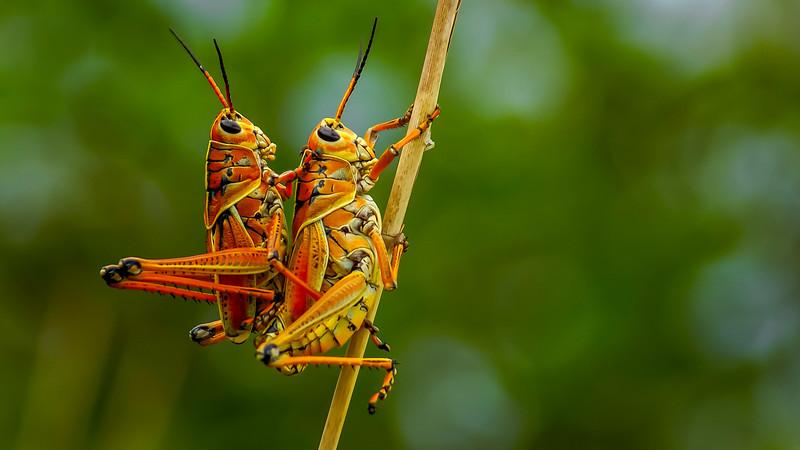 Grasshoppers 15.jpg