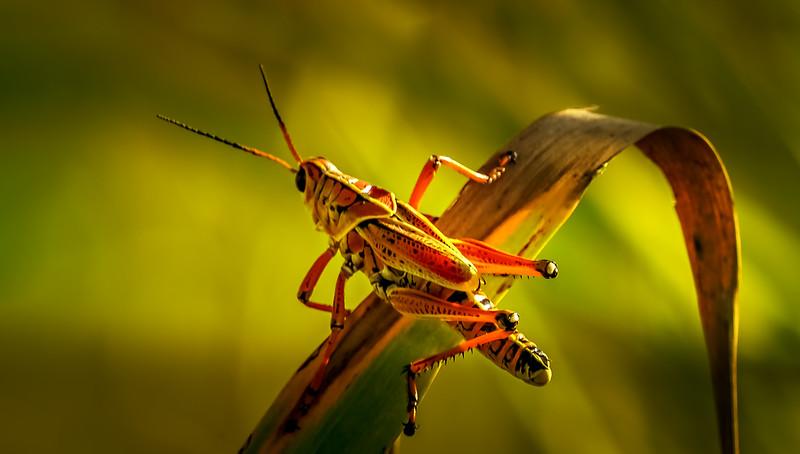 Grasshoppers 89.jpg