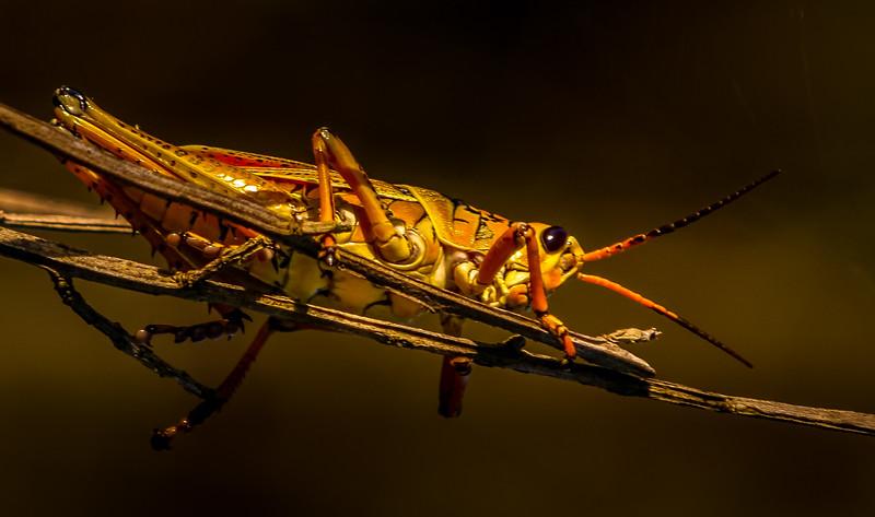 Grasshoppers 72.jpg