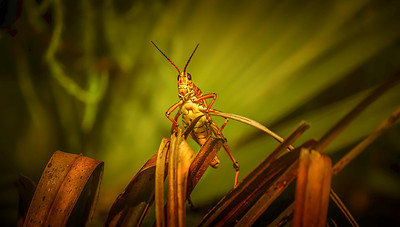 Eastern Lubber Grasshoppers