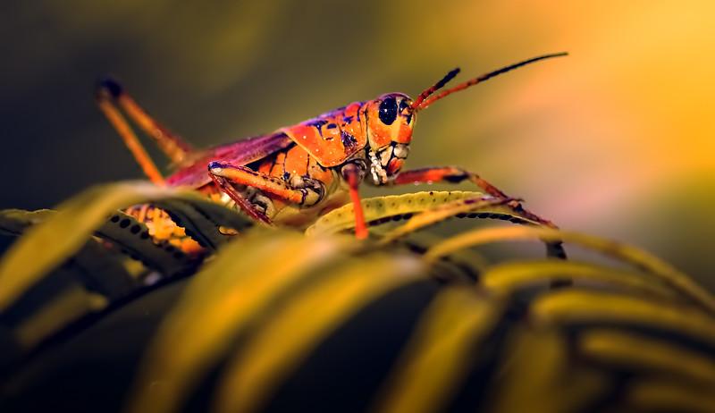 Eastern Lubber Grasshoppers-117.jpg