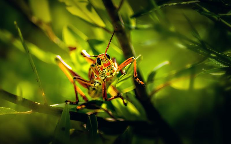 Grasshoppers 98.jpg