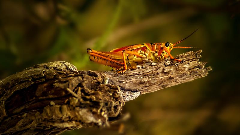 Grasshoppers 57.jpg