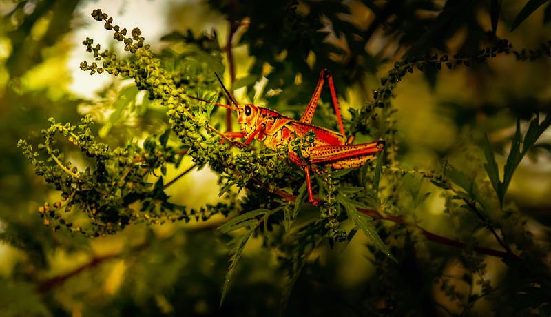 Grasshoppers 69.jpg
