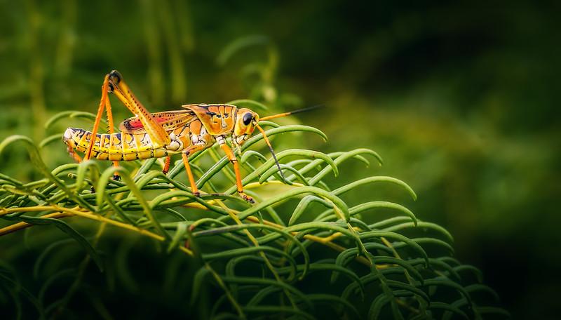 Grasshoppers 58.jpg