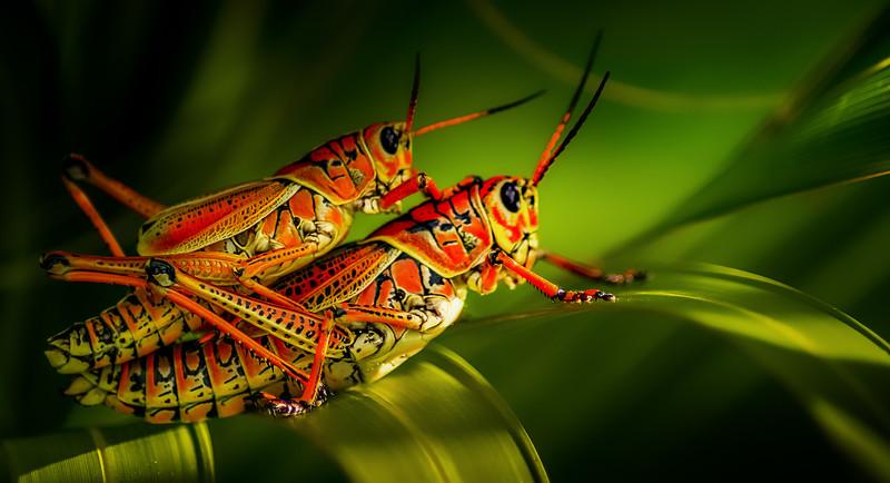 Grasshoppers 102.jpg
