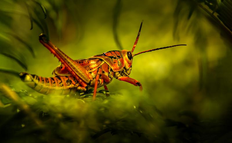 Grasshoppers 56.jpg