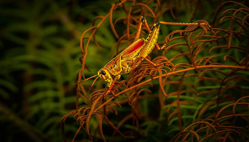 Grasshoppers 4.jpg