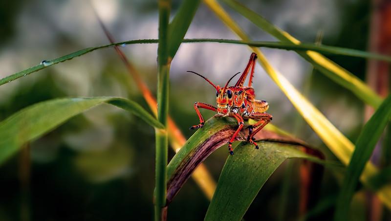 Grasshoppers 76.jpg