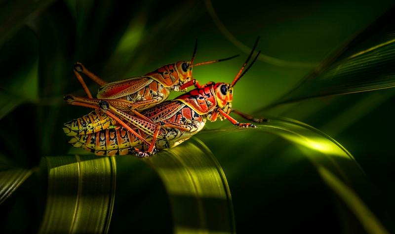 Grasshoppers 22.jpg