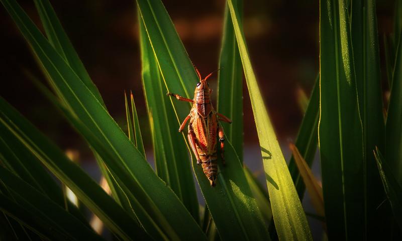 Eastern Lubber Grasshoppers-120.jpg