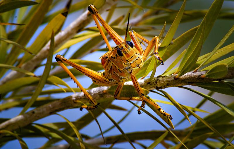 Grasshoppers 17.jpg