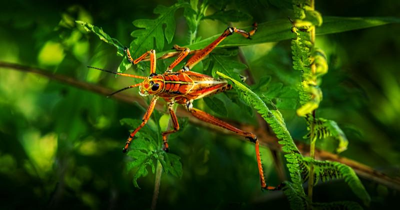 Grasshoppers 77.jpg