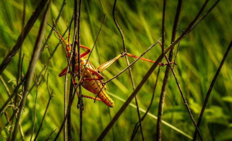 Grasshoppers 20.jpg