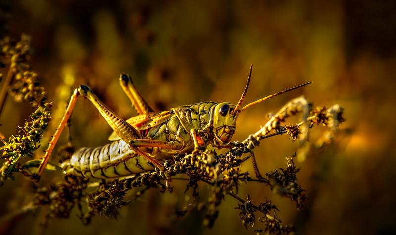 Grasshoppers 26.jpg