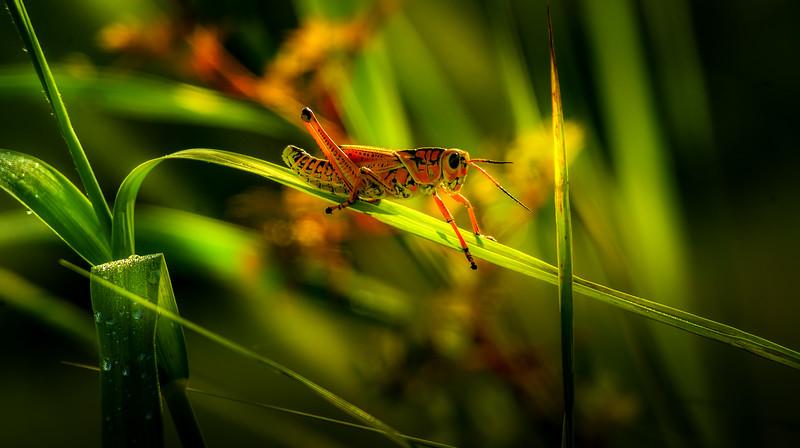 Grasshoppers 108.jpg