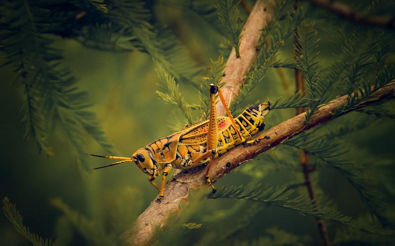 Eastern Lubber Grasshoppers-116.jpg
