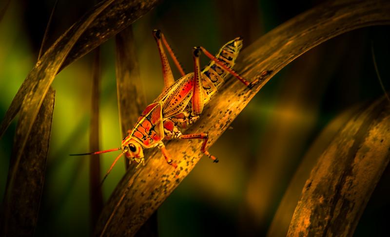 Grasshoppers 103.jpg