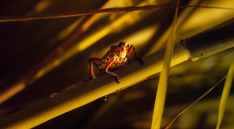 Grasshoppers 30.jpg