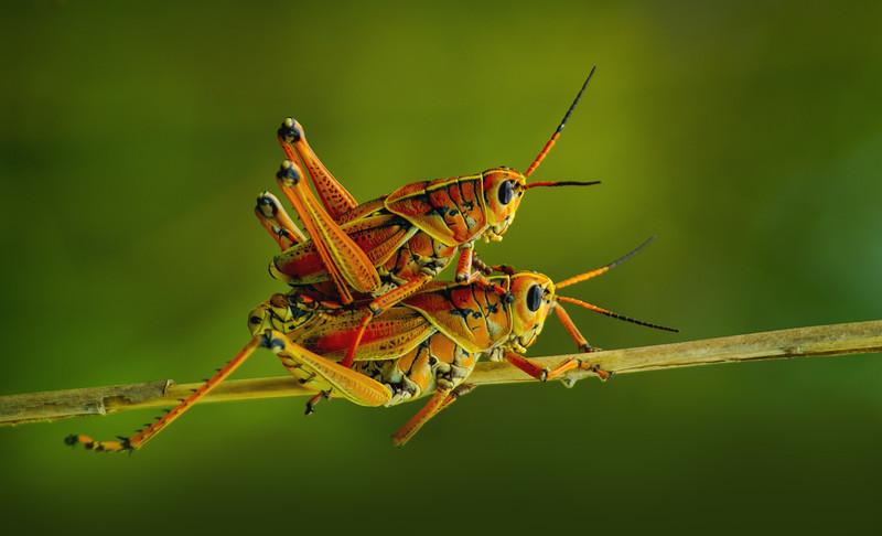 Grasshoppers 6.jpg