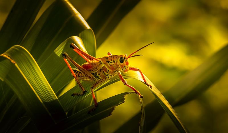 Grasshoppers 60.jpg