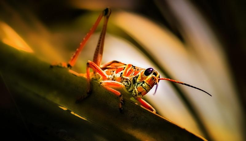Grasshoppers 63.jpg