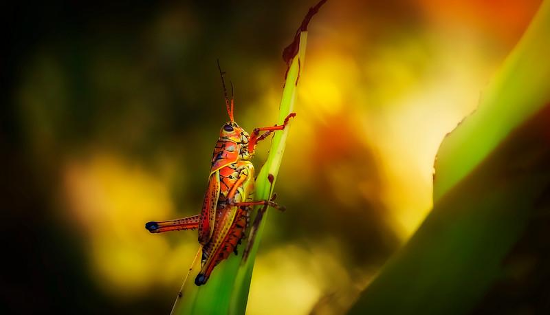 Grasshoppers 53.jpg