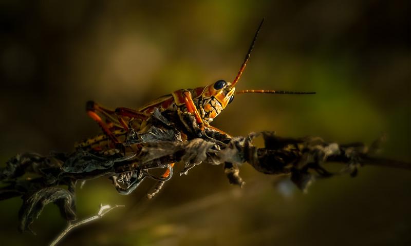 Grasshoppers 5.jpg