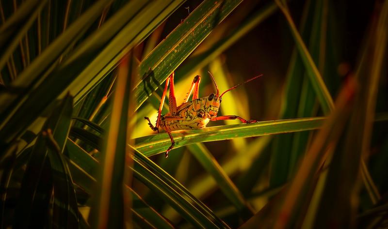Grasshoppers 49.jpg